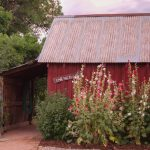 Hollyhocks infront of red shed.