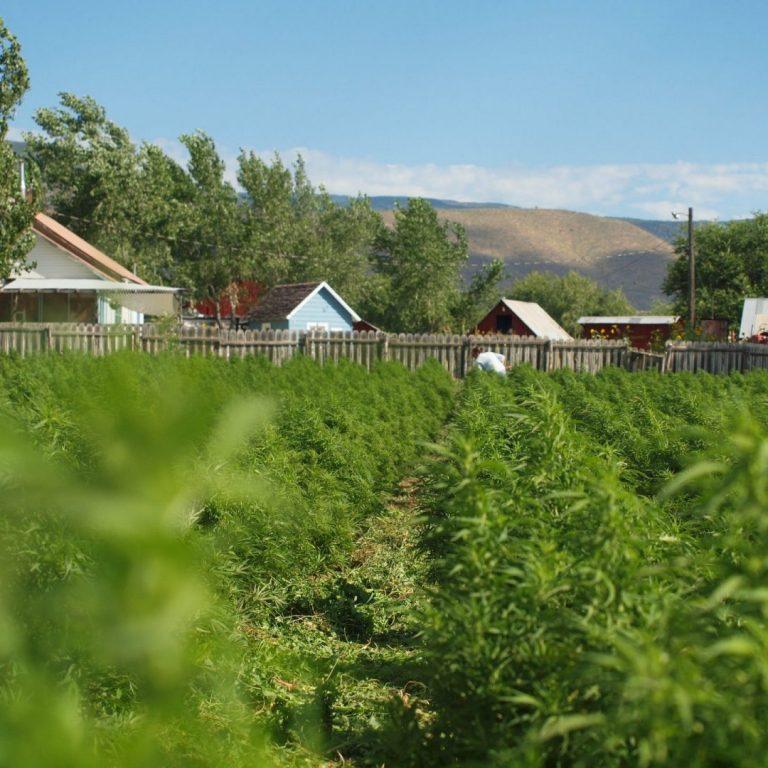 Organic hemp farm field and farm buildings near Paonia