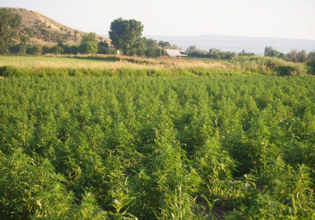 Large hemp field on an organic hemp farm.